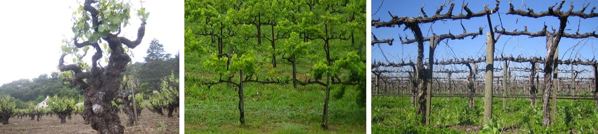 Vine Training